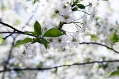 White cherry blossoms - stock photo