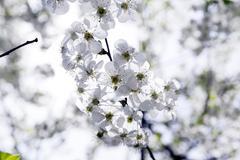 Cherry blossoms . spring Stock Photos