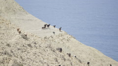 Wild goat and sheep, Moroccan cliffside Stock Footage
