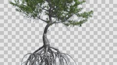 Red Mangrove Small Thin Tree with Root System Tree is Swaying at The Wind Green Stock Footage
