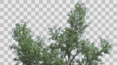Red Gum Top of Tree Crown Branches Are Swaying at the Wind in Summer Computer Stock Footage
