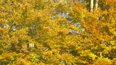Autumn leafs on Beech trees Stock Footage