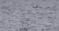 Slow Motion: Guillemot Flying Over Hundreds of Others Swimming Stock Footage