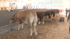 Cattle show 11 Stock Footage