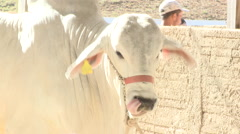 Cattle show 14 Stock Footage