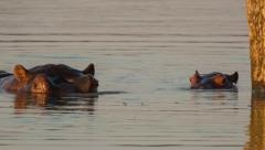 Stock Video Footage of Hippo (Hippopotamus amphibius) mother and calf swimming in waterhole at dawn