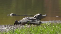 Amid Nature - A couple of American Alligators Take Advantage of a Sunny Day Stock Footage