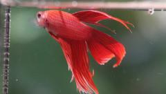 Red Siamese fighting fish Stock Footage