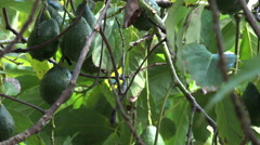 4K Avocados Ripen On Tree Branches Zoom Out Stock Footage