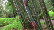 Stock Video Footage of 4K Tall Bamboo Stalks Grow On Island Of Maui