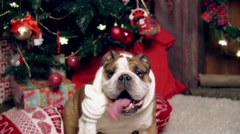 the lovely English bulldog sits under a fir-tree on Christmas eve - stock footage