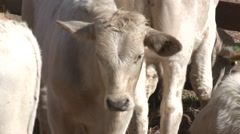 Cattle show 18 Stock Footage