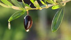 Olive oil dripping from mature olives. Macro. Stock Footage