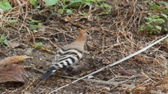 Hoopoe bird Stock Footage