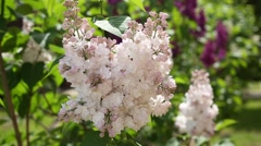 Branches of a lilac in the spring sunny day. Stock Footage