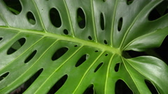 4K Giant Green Leaves With Symmetric Holes Bob In Wind Close Up - stock footage