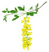 Green branch of yellow acacia isolated on white - stock illustration
