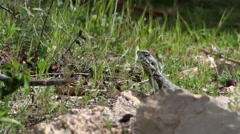 Agama lizard on the grass Stock Footage