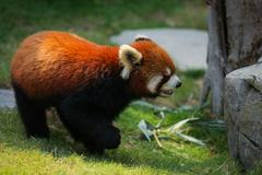 Red panda on grass - stock photo