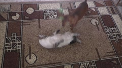 The cat and dog play a carpet Stock Footage