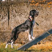 Great Dane Big Dog. Deutsche Dogge, German mastiff - stock photo