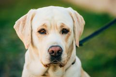 Close Up Adult White Labrador Dog - stock photo
