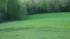 Deer in Vibrant Green Field at Springtime Awesome Stock Footage