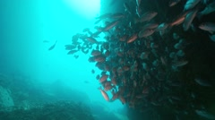 Snapper in sea cave Stock Footage