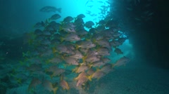 Sweetlips  in sea arch Stock Footage
