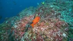big eye & banner fish  cocos island costa rica - stock footage