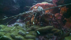 painted lobster  sitting on corel - stock footage