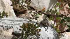 Agama lizard Stock Footage