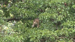 Pig-tailed Macaque feed on fruit 1 Stock Footage