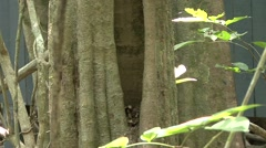 Plain Pygmy Squirrel  comming out of nesting hole 1 Stock Footage