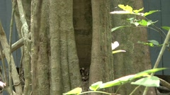 Plain Pygmy Squirrel  comming out of nesting hole 2 Stock Footage
