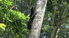 Prevost's Squirrel feeding on tree trunk 1 Stock Footage