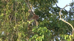 Proboscis Monkey climb tree filmed from boat 1 Stock Footage