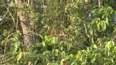 Proboscis Monkey climb tree filmed from boat 3 - stock footage