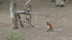 Proboscis Monkey family walk in mangrove forest 1 Stock Footage