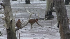 Proboscis Monkey family walk in mangrove forest 4 Stock Footage