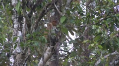 Proboscis Monkey female climb tree 4 Stock Footage