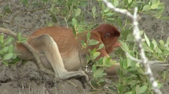 Proboscis Monkey female sit in tree in mangrove feeding on leaf 5 Stock Footage