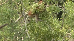 Proboscis Monkey female sit in tree in mangrove feeding on leaf 7 Stock Footage