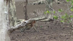 Proboscis Monkey female walk in mangrove forst with baby on stomach 1 Stock Footage