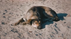 Homeless dog lying on the sand Stock Footage