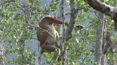 Proboscis Monkey male sit in tree in mangrove feeding on leaf 2 Stock Footage