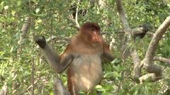 Proboscis Monkey male sit in tree in mangrove looking around 1 - stock footage