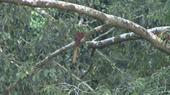 Red Giant Flying squirrel mating and fall down from branch Stock Footage
