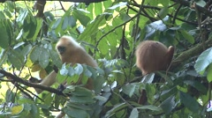 Red Leaf Monkey family feed in tree 3 Stock Footage