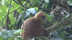 Red Leaf Monkey family feed in tree 2 Stock Footage